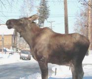 Bull Moose on the church sidewalk