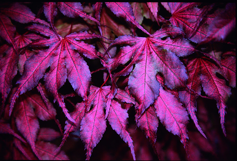 Purple Ghost Anese Maple