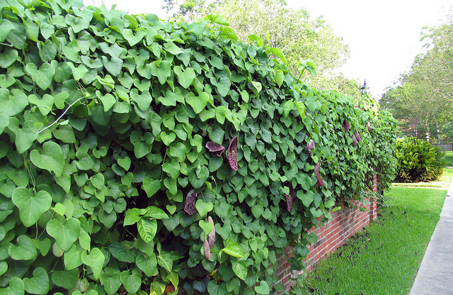 pipe - Plants That Grow Well In Shade