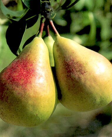 Sweet luscious summer pears are easy with these hardy pear varieties.