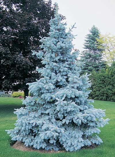 Neon Blue Spruce