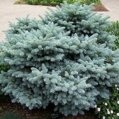 Thume Globe Blue Spruce