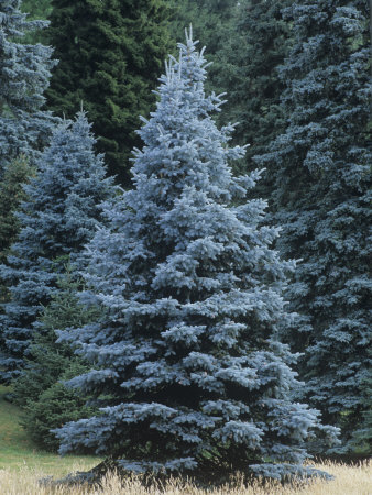 Selected Spruce