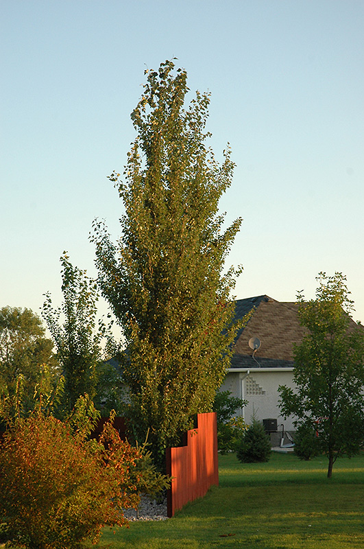 Tower Poplar