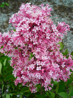 Tinkerbelle Lilac Tree
