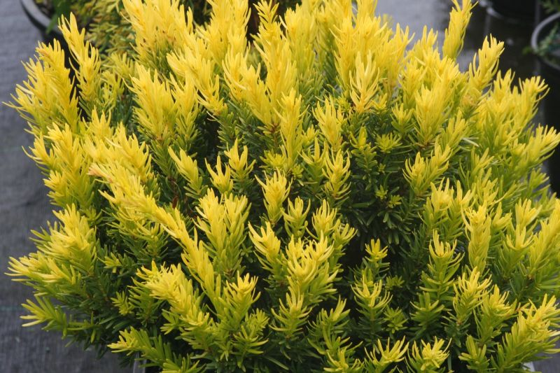 Image Result For Low Maintenance Evergreen Shrubs