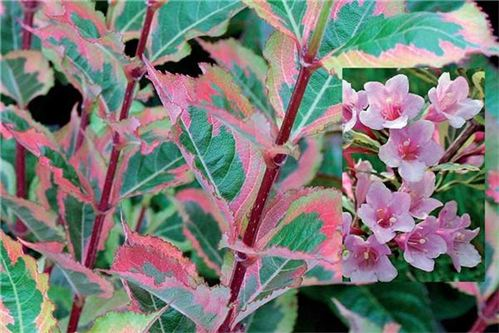 Magical Rainbow Weigela