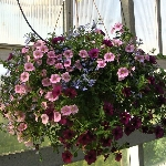 Mixed Annual Hanging Baskets