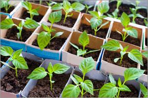 epsom salt gardening. Epsom Salt For Peppers Gardening S
